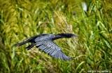 kochi_backwaters_oiseaux-13