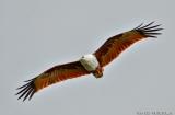 kochi_backwaters_oiseaux-15