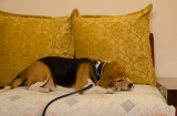 delhi_pesha_le_chien