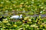 kashmir-srinagar-le-lac-oiseaux-1a