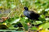 kashmir-srinagar-le-lac-oiseaux-2