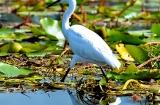 kashmir-srinagar-le-lac-oiseaux-5
