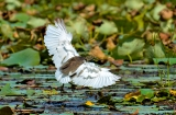 kashmir-srinagar-le-lac-oiseaux-7