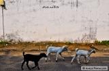 kochi_bazaar_road_les_betes-5