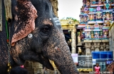 madurai-temple-minakshi-elephant-5