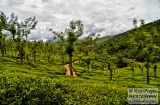 ooty_plantations_the-1b