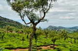 ooty_plantations_the-1c