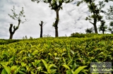 ooty_plantations_the-2