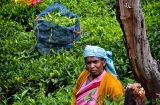 ooty_plantations_the-3