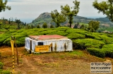 ooty_plantations_the-8