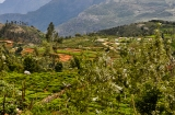 ooty_plantations_the-9