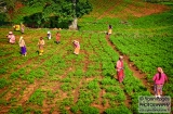 ooty_paysannes_champs-1