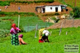 ooty_paysannes_champs-3
