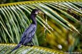 kochi_backwaters_oiseaux-10