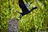 kochi_backwaters_oiseaux-12