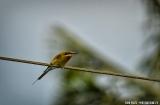 kochi_backwaters_oiseaux-3