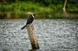 kochi_backwaters_oiseaux-4