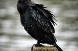 kochi_backwaters_oiseaux-6
