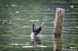 kochi_backwaters_oiseaux-7