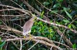 kochi_backwaters_oiseaux-8
