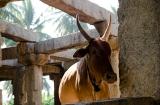 hampi_baignade_elephante-9