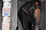 hampi_elephante_lakshmi-2