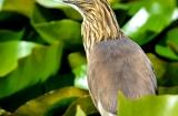 kashmir-srinagar-le-lac-oiseaux-3
