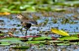 kashmir-srinagar-le-lac-oiseaux-4