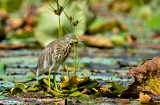kashmir-srinagar-le-lac-oiseaux-8