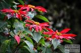 ooty_jardin_botaniquec-7