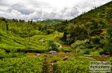 ooty_plantations_the-1