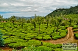ooty_plantations_the-1d